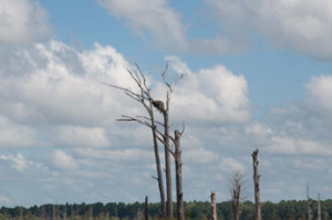 Wilmington Cape Fear Osprey Nest